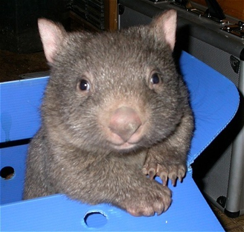 """Mr Wombat says """"are you sure now?"""""""