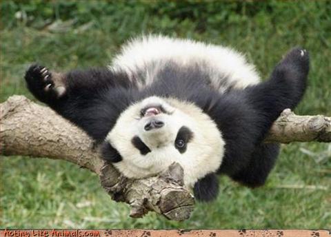 panda panda upsidanda