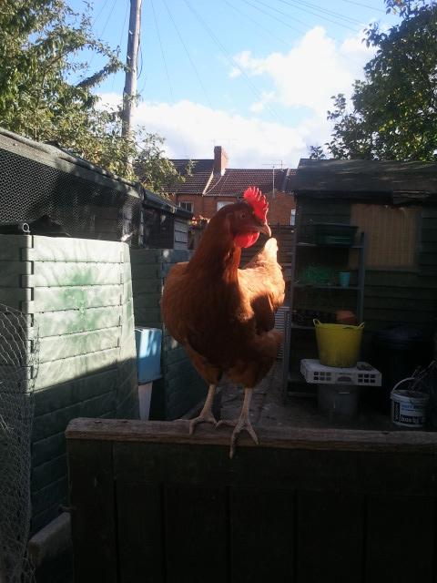 Orange - one of Mr X Stitch's amazing hens!